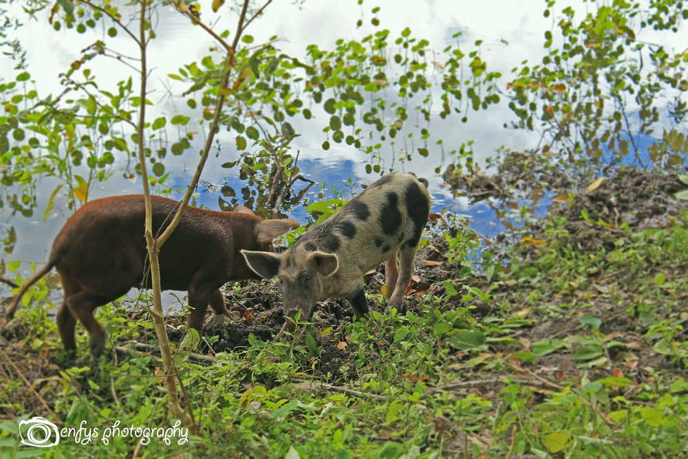 Pigs foraging for food -El Remate, Guatemala