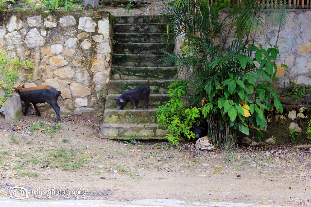 Three little pigs in the front yard -El Remate, Guatemala