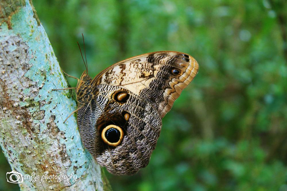 A beautiful Owl Butterfly Biotopo Cerro Cahui - El Remate, Guatemala