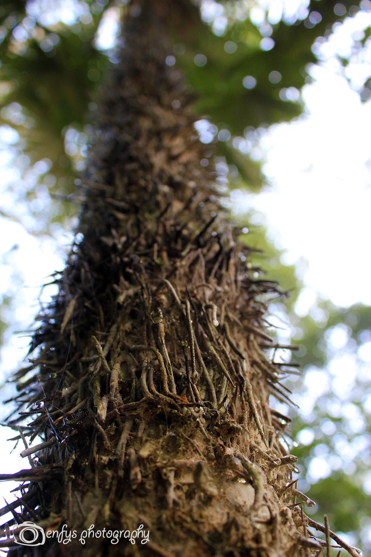 Thorn Trees -Tikal National Park, Guatemala