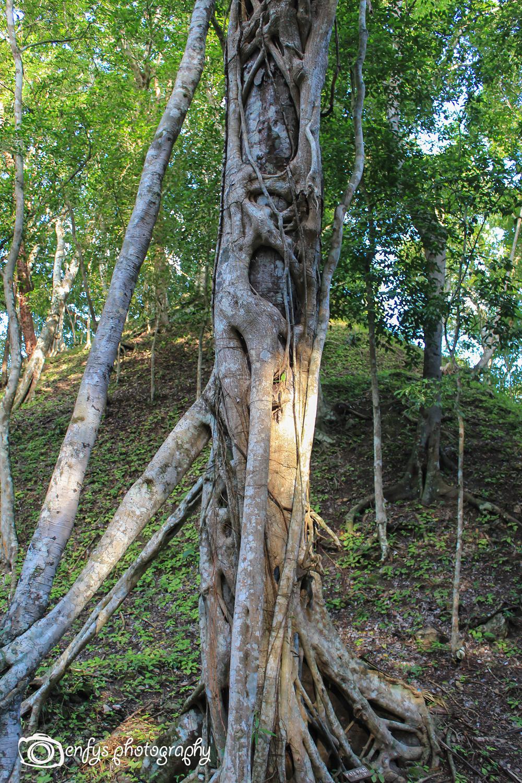 Vines taking over a tree -Yaxha - Peten, Guatemala