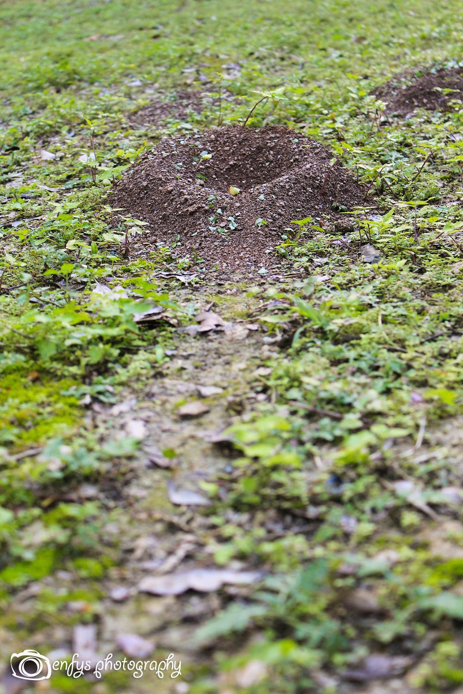 Giant Ant Hill -Yaxha - Peten, Guatemala