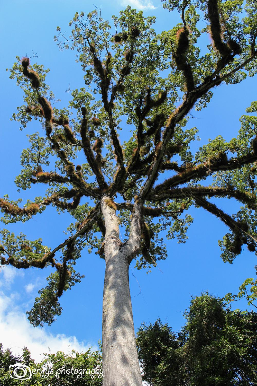 Tarantula Tree -Yaxha - Peten, Guatemala