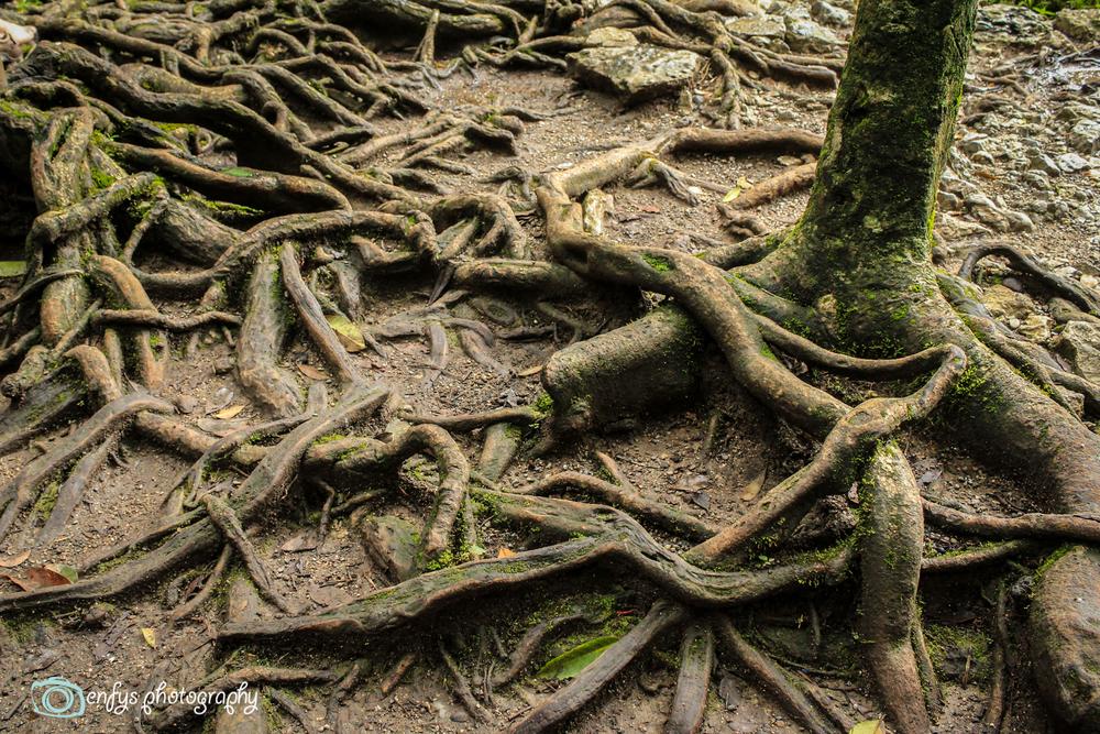 Gnarly roots -Semuc Champey, Guatemala