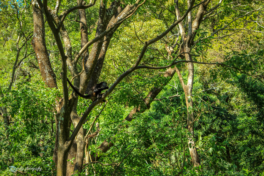 More spider monkeys (Click to enlarge) -Atitlan Nature Reserve - Panajachel, Guatemala