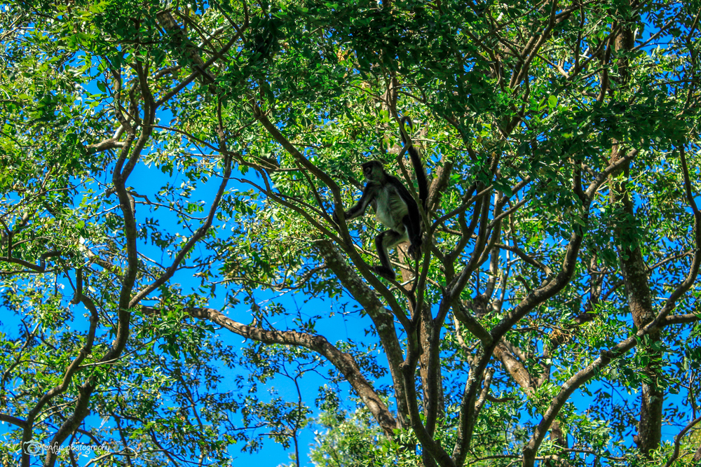 Spider monkey (Click to enlarge) -Atitlan Nature Reserve - Panajachel, Guatemala