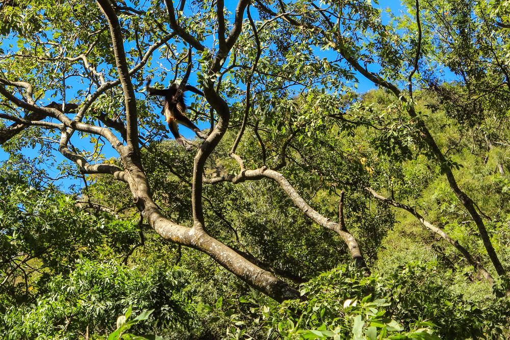 Monkey acrobats (Click to enlarge) -Atitlan Nature Reserve - Panajachel, Guatemala