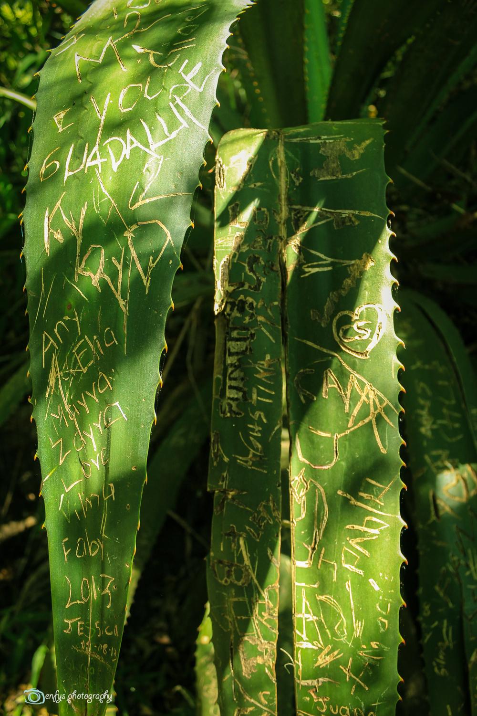 Plant graffiti (Click to enlarge) -Atitlan Nature Reserve - Panajachel, Guatemala