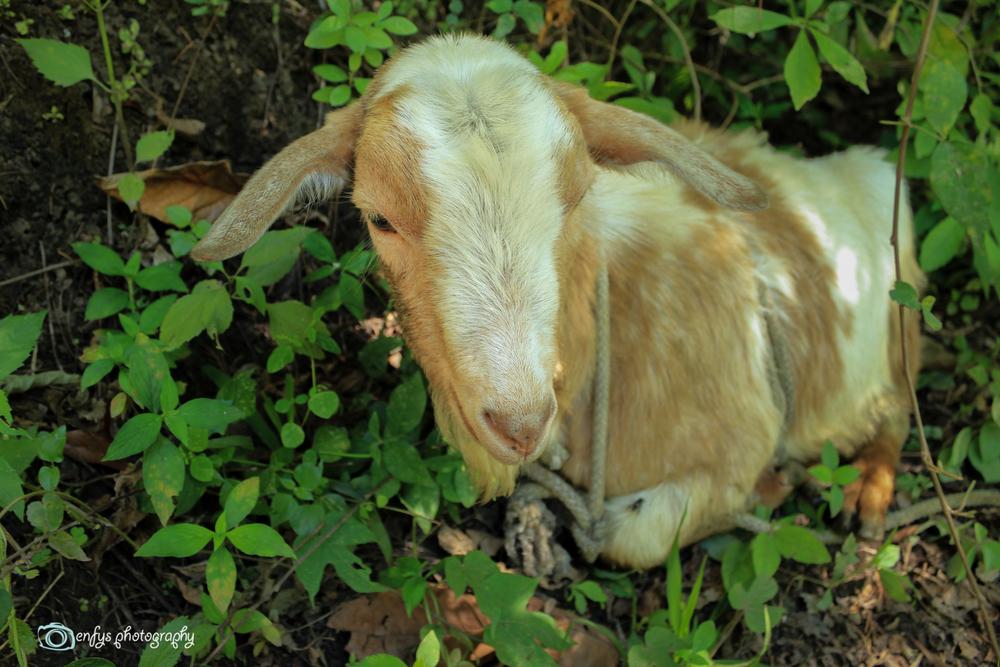 A random goat along the trail -Atitlan Nature Reserve - Panajachel, Guatemala