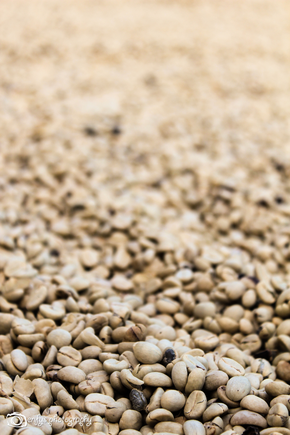 More coffee beans (Click to enlarge)  -San Pedro la Laguna, Guatemala