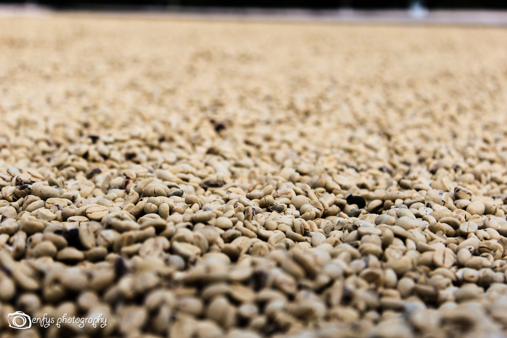 Coffee beans drying (Click to enlarge) -San Pedro la Laguna, Guatemala