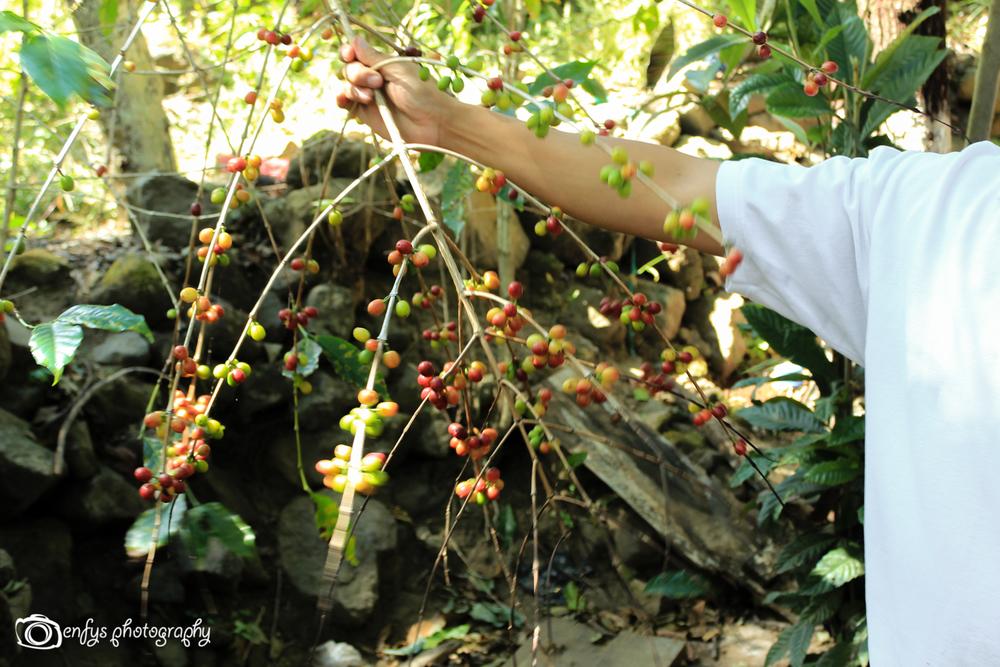 Coffee plant -San Pedro la Laguna, Guatemala
