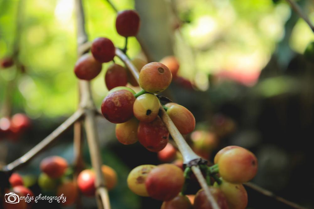 Coffee berries -San Pedro la Laguna, Guatemala