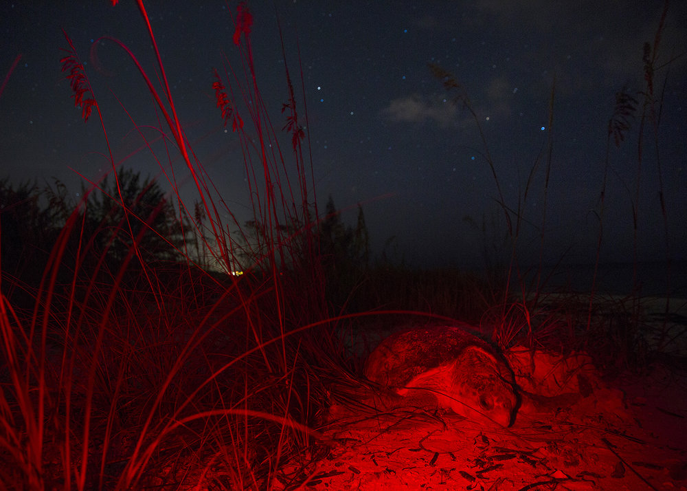 A female loggerhead sea turtle lays her eggs around four o'clock in the morning on Thursday, July 20, 2017 on Keewaydin Island. The Conservancy of Southwest Florida turtle interns patrol the beach from sundown to sunrise, looking for nesting turtles.