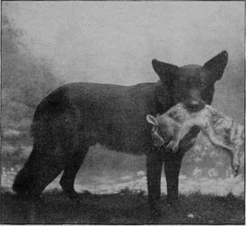 retrieving-wolf.jpg