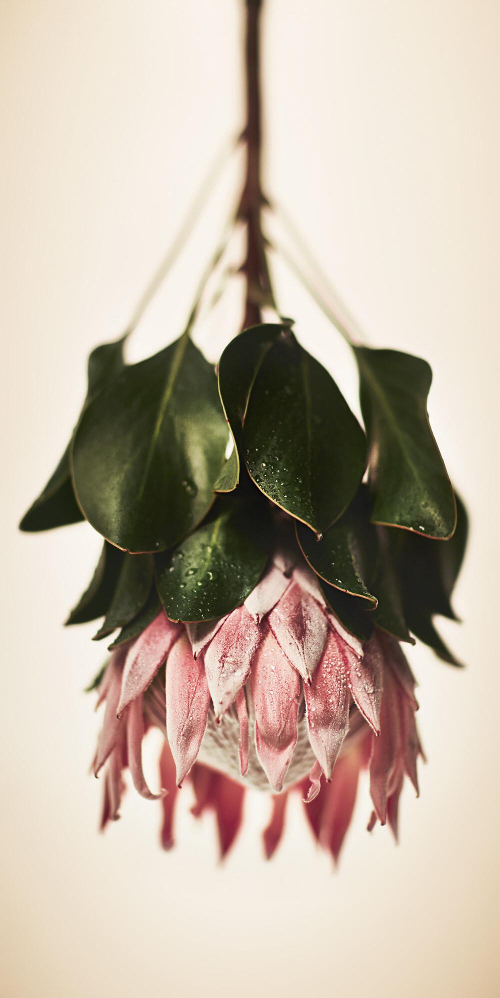 Protea White.jpg