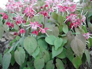 Above: Epimedium plant