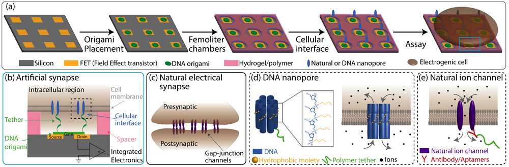 "Synthetic synapse:  (a) Schematic showing the fabrication of the ""synthetic synapse"" starting with an array of transistors on top of which DNA origami are localized, followed by creation of femotoliter chambers, attachment of DNA nanopores and finally plating of the cells; (b) Cross-section view of a single synthatic synapse or 'pixel' with a transistor, DNA origami and nanopore interfacing with the cell at a defined distance; (c) is a cartoon of a natural electrical synapse connecting two neurons through bi-directional gap-junction ion channels; (d) is a schematic of DNA nanopore created from a small six helix bundle with a hydrophobic belt created by attached 30 hydrophobic moeities; (e) is a schematic of second approach to cellular interface where an antibody or aptamer is used to recruit a specific natural ion channel undergoing lateral diffusion on the cell surface."