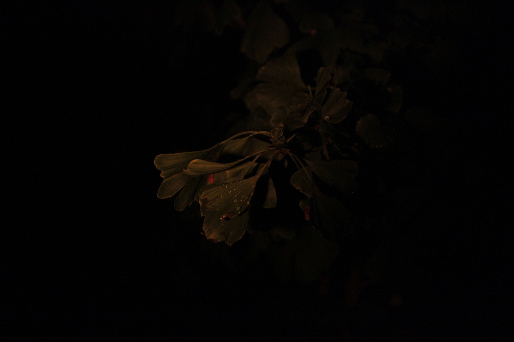 Gingko biloba (at night)