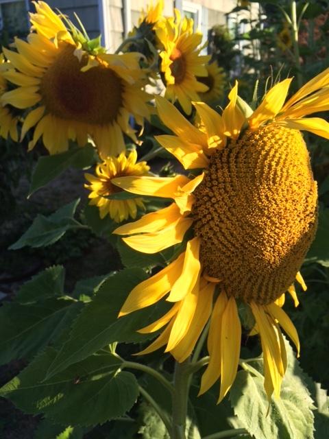sunflower_bunch.JPG