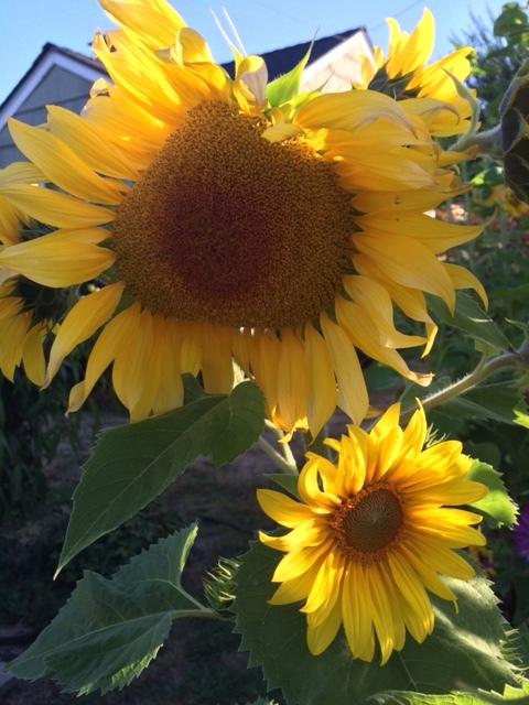 sunflowers_two.JPG