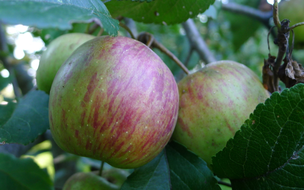 chesnut apples, ripening