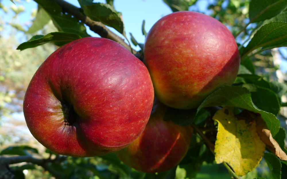 early season redfree apples