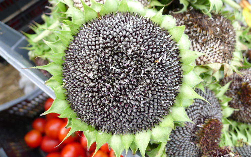 sunflower head full of seeds