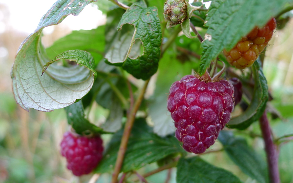 autumn-ripened raspberries