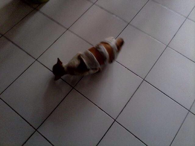 We have Dachshund, the hot dog; we also have sausage cat. Chiko walks around the clinic a few days after the surgery.