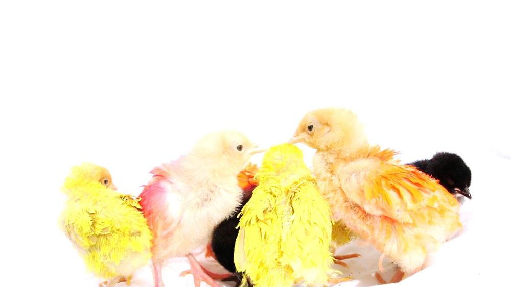 "Still from, ""Chicks+Cock,"" by MarieVic, digital video, 2015"