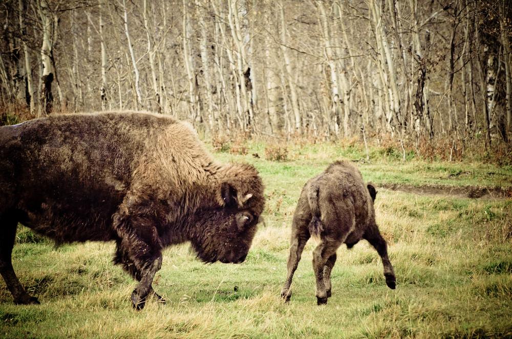 Elk Island Bisons