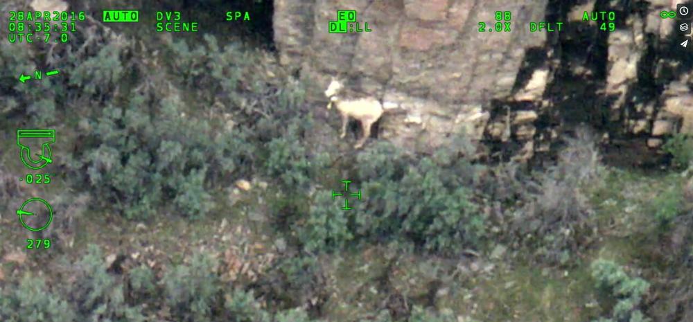 Bighorn ewe with camouflaged lamb