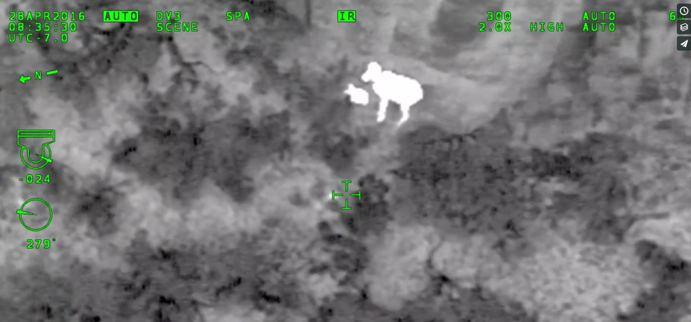 Ewe and Lamb detected with infrared sensors