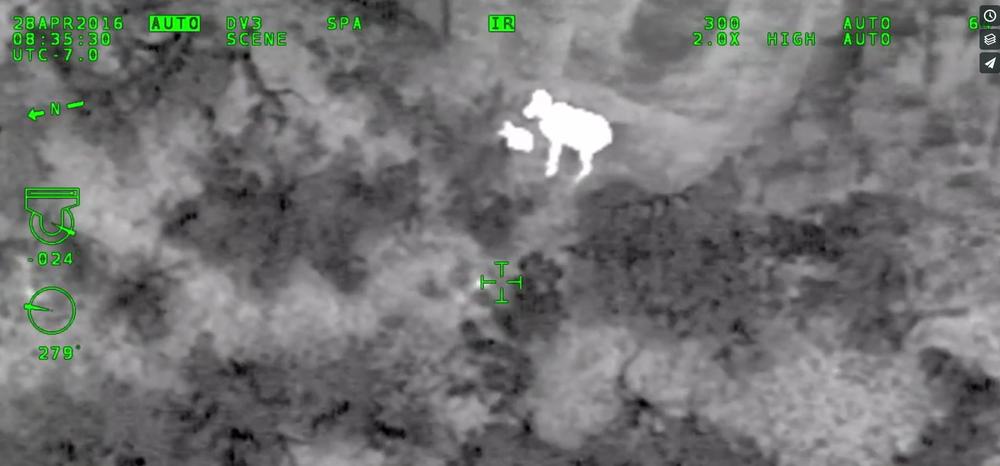 Ewe and Lamb detected with infrared sensors