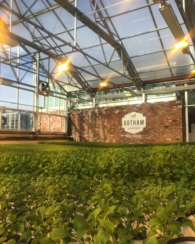 Heaven is a hydroponic rooftop greenhouse filled with the aroma of herbs and leafy greens @gothamgreens
