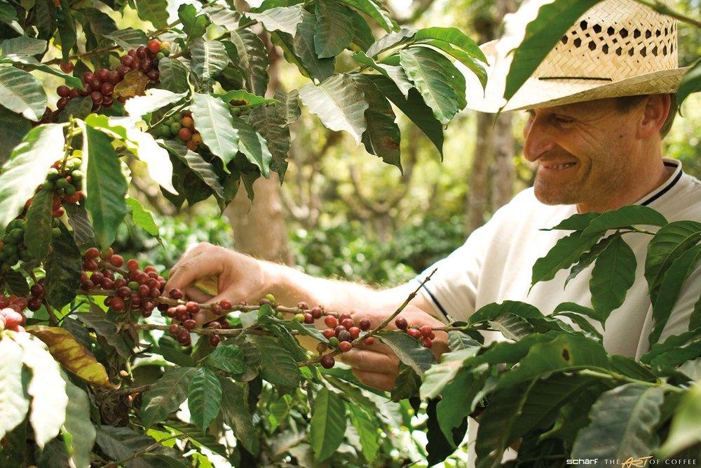 Geschäftsführer Reinhold Schärf bei der Ernte.