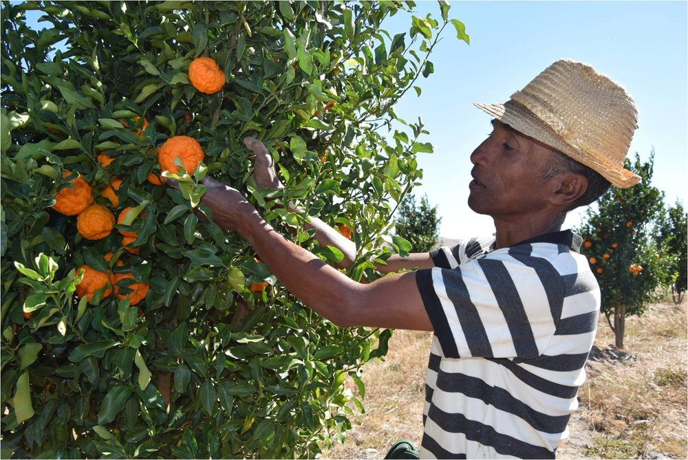 Cyril Rakotoarimanana with one of his tangerine trees
