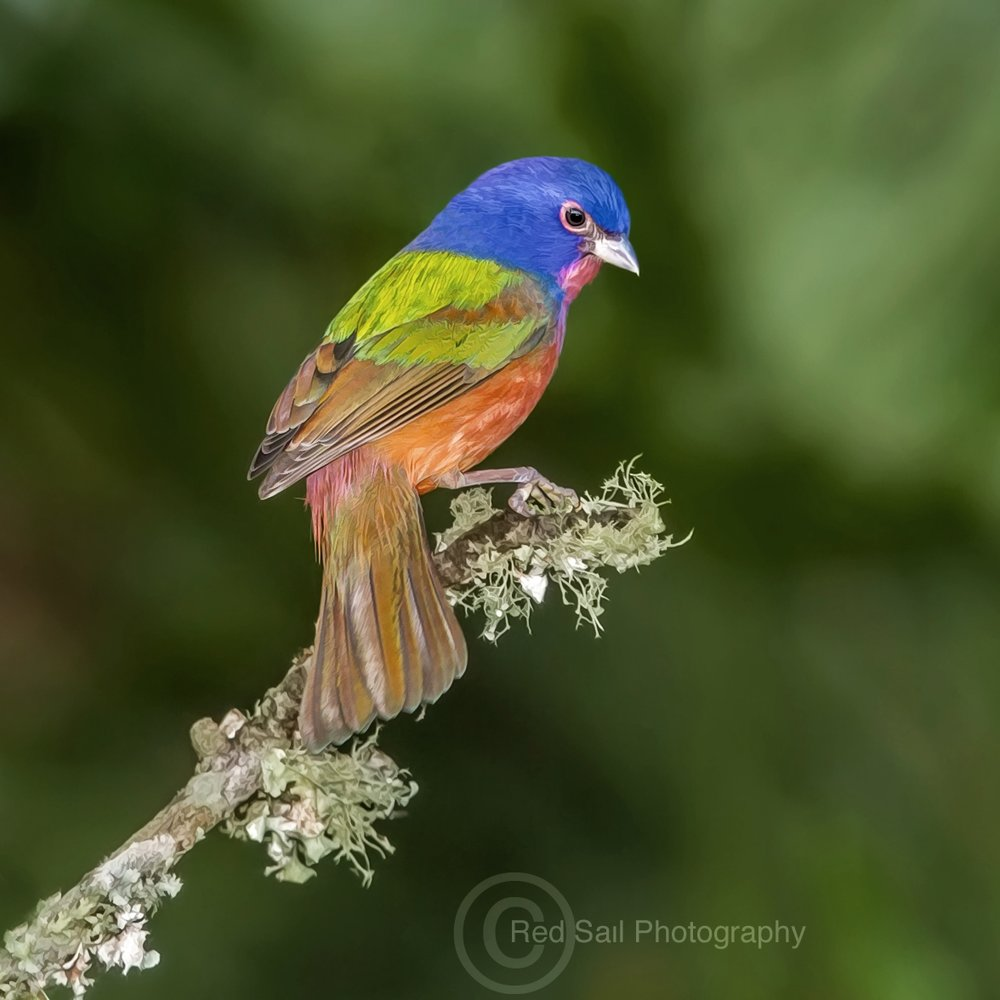 Painted Bunting, photo courtesy of Jack Zievis, Red Sail Photography