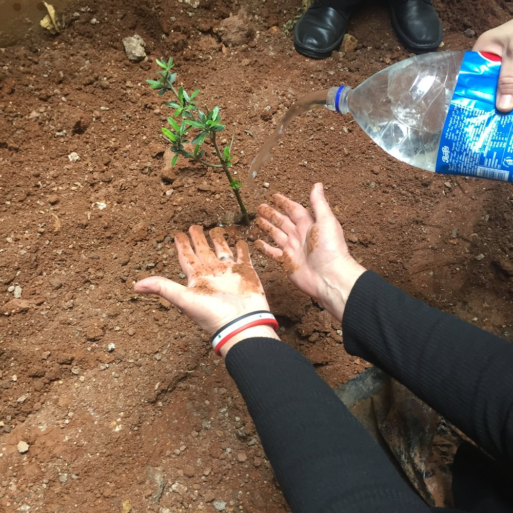 An olive tree newly planted in hope