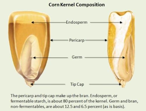 corn_kernel.jpeg