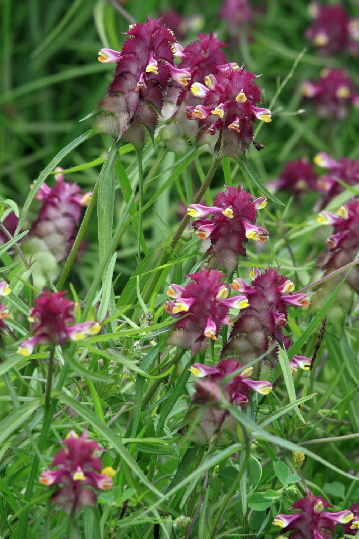 Kammarimjelle tilhører maskeblomstfamilien. Blomsten vokser på lysåpne lavtliggende områder vedOslofjorden. Foto: Bildagentur Zoonar Gmbh