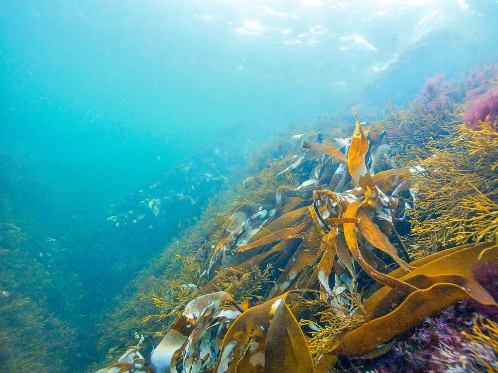 Undervannsskog med store brunalger. Lyset trenger ned i vannmassene og brukes av tang og tare i fotosyntesen – akkurat som de grønne plantene på land. Foto: Lars-Ove Loo