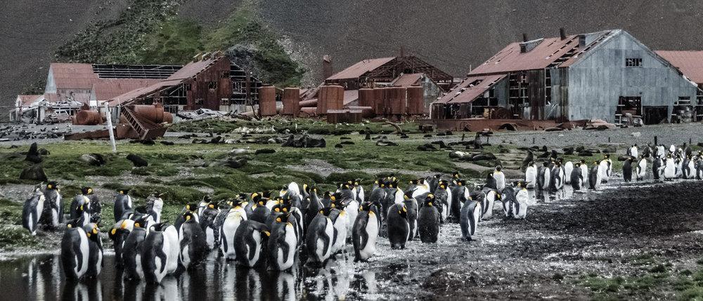 Det er pingvinene som regjerer nå det gamle fangstmiljøet i Strømness på South Georgia