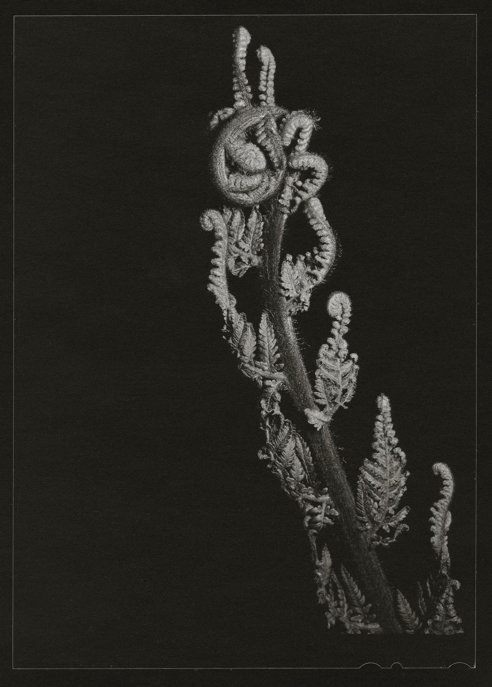 Lace Fern