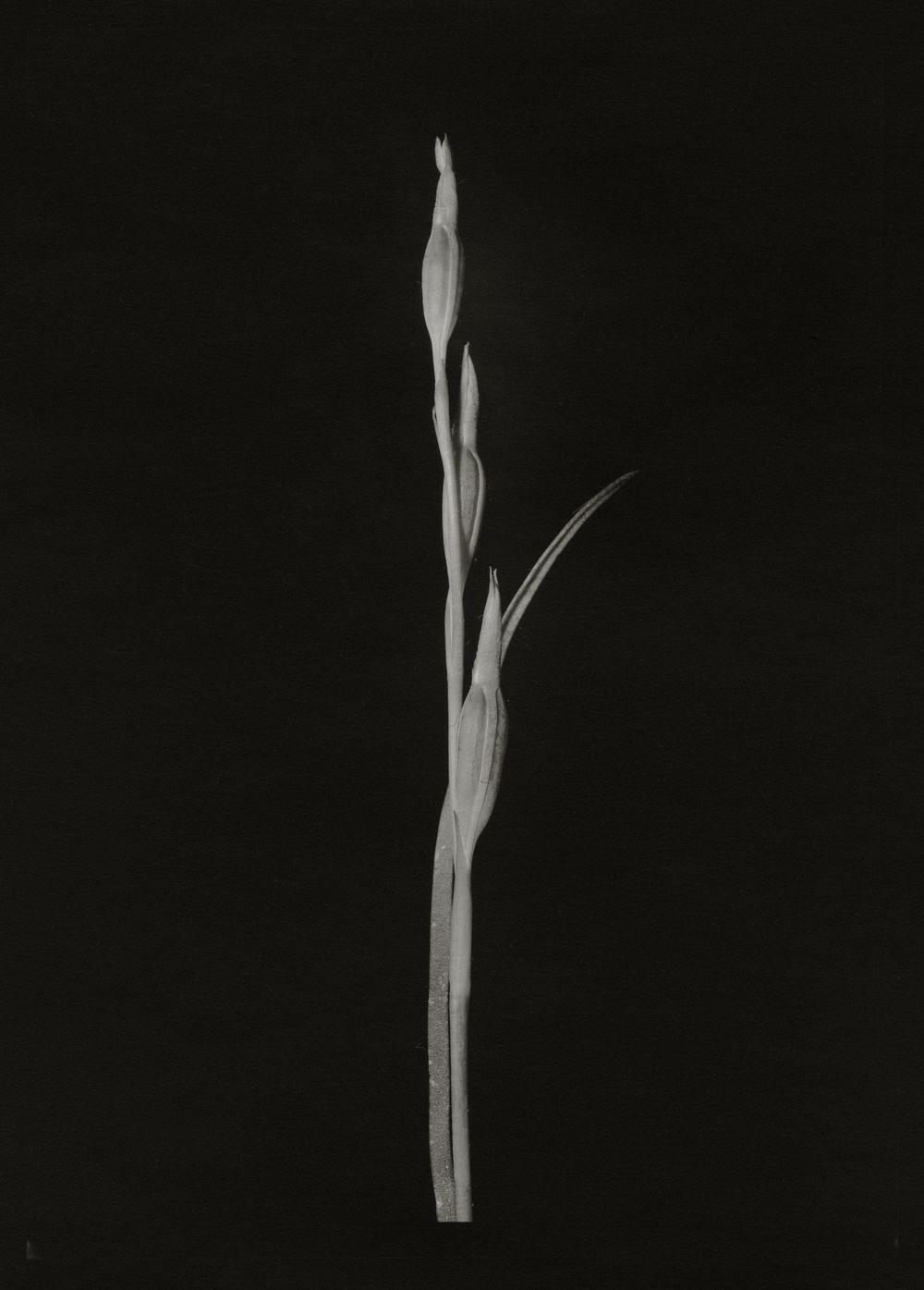 Blue Sun Orchid