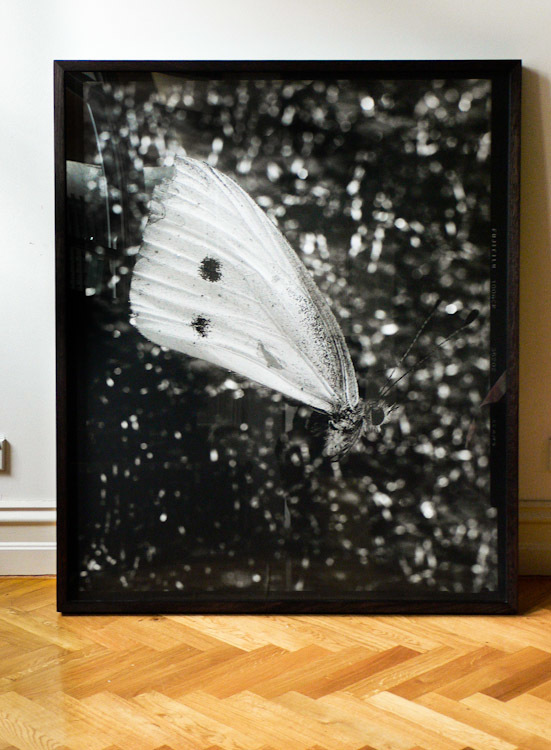 "This is my print of the butterfly we caught in Seefeld. Printed 50"" x 42"" in the darkroom, now framed and ready to hang in Melbourne."