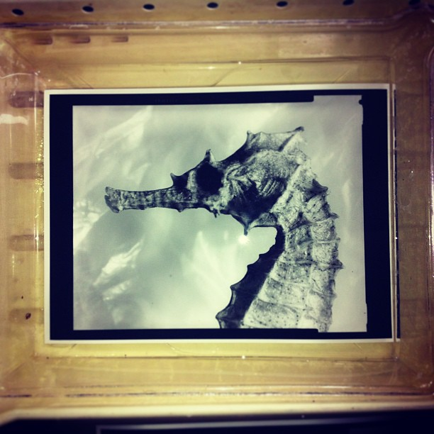 Gold toning this #darkroom #print of a #seahorse #ilovefilm