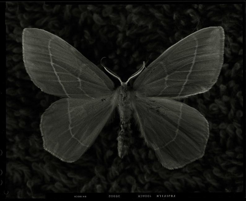 Essex Emerald Moth. Last seen in Essex in 1991. Now extinct. Casey Moore Photography