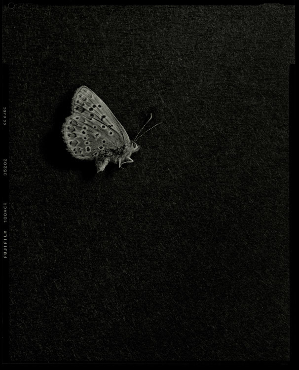 This is a British common blue butterfly - part of the Bestiary on my website  www.caseymoore.com